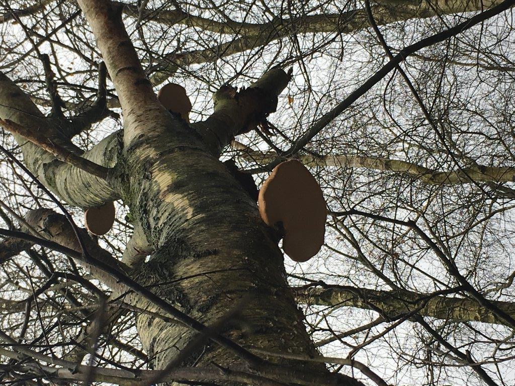 buchholz Baum